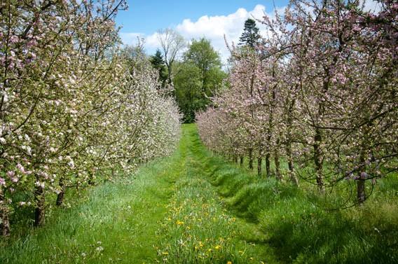 champs de pommiers les bruyères carré moyaux pays d'auge normandie