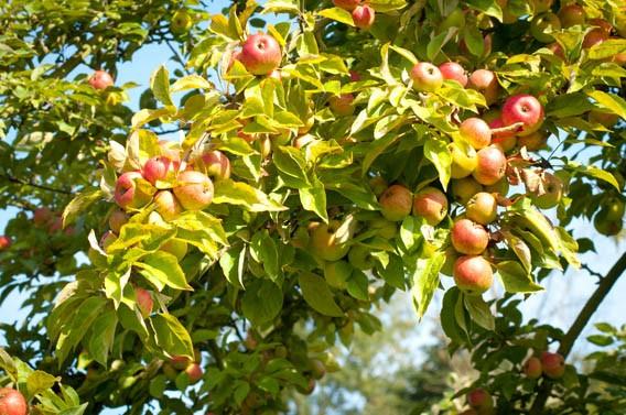 pommes vergers calvados bruyères carré moyaux normandie