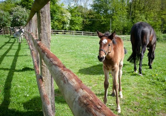 poulain cheval bruyères carré calvados