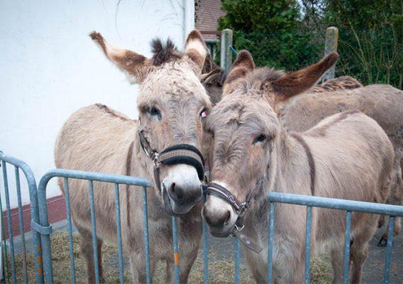 Foire aux ânes Moyaux Calvados Normandie pays d'Auge
