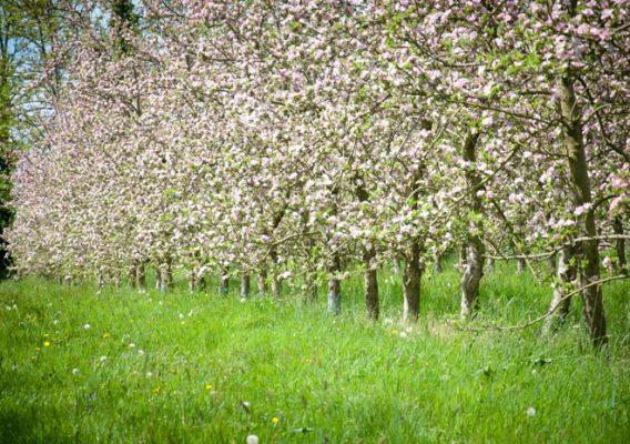pommiers fleurs calvados normandie moyaux lisieux