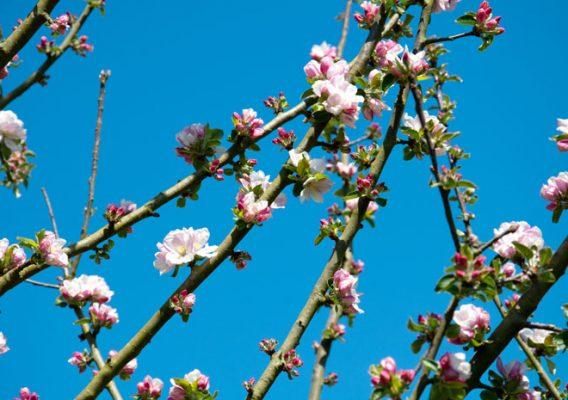 pommiers fleurs pays d'auge lisieux calvados moyaux normandie