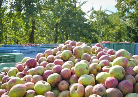 récolte pommes bruyères carré calvados normandie
