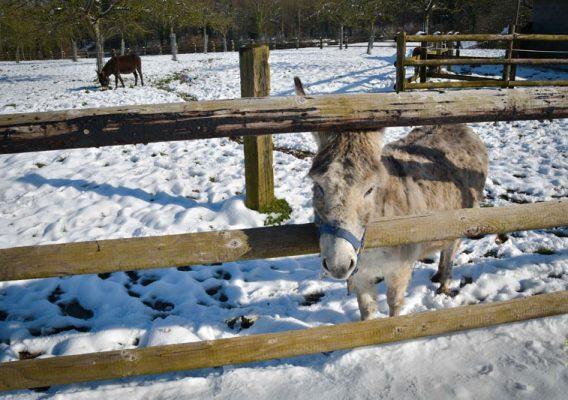 ânes bruyères carré hiver neige moyaux