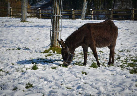foire ânes moyaux neige bruyères carré hiver