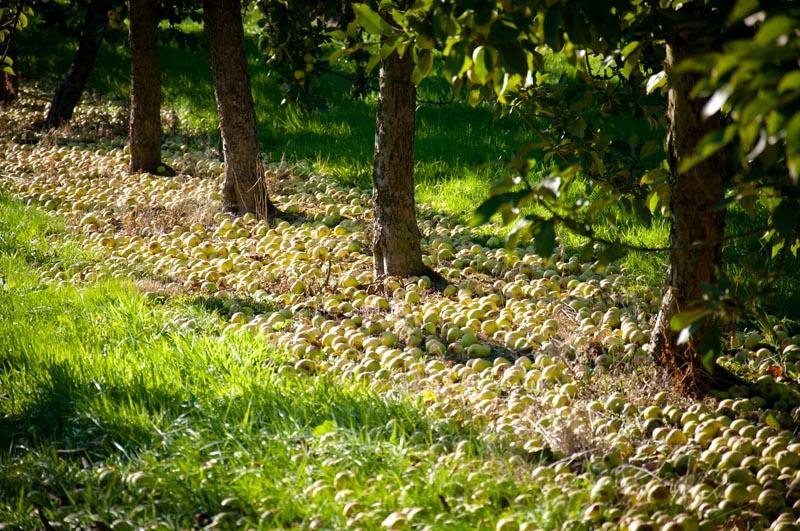 pommes à cidre, automne, normandie