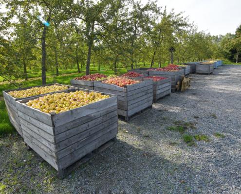 récolte pommes cidre calvados