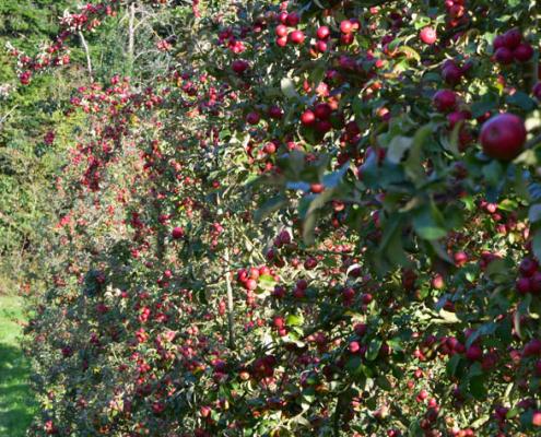 récolte pommes cidre normandie
