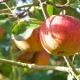 récolte pommes pays d'auge