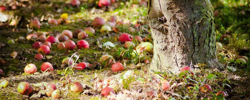 photographie vergers pommes pays auge